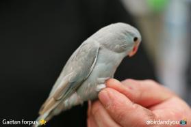 toui céleste femelle bleu cinamon-2