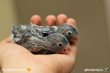 toui céleste gris mâles