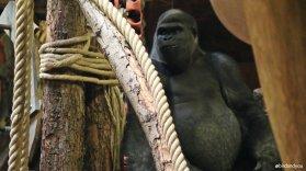 Gorille birdandyou