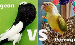 Pigeon vs perroquet