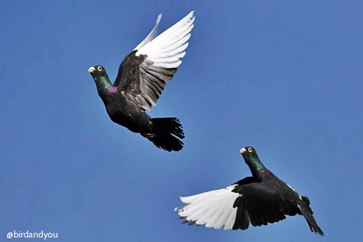 Pigeon de sport