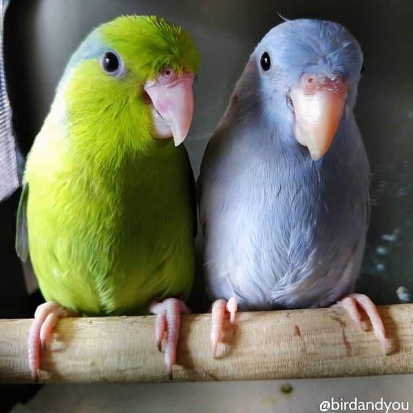 Reproduction des touis céleste-Couple toui céleste