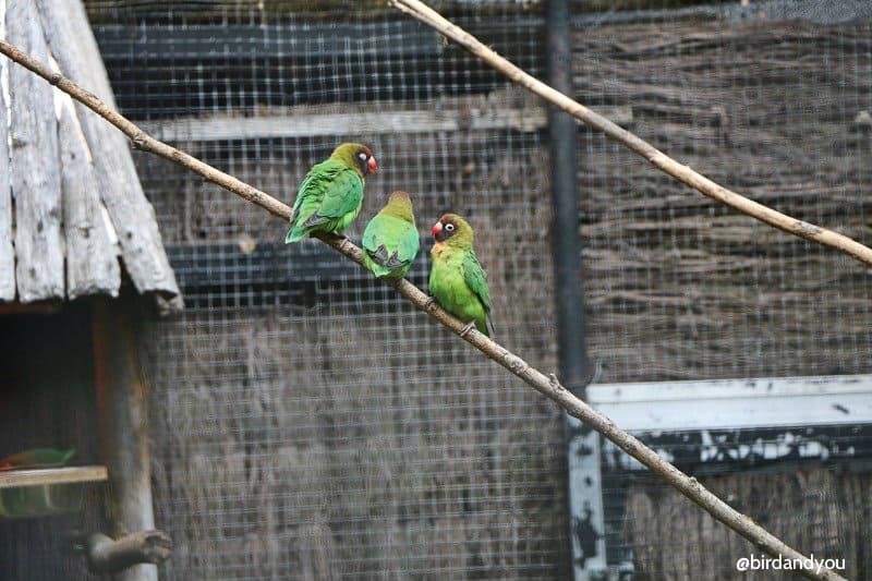 Inséparables à joures noires volières du zoo de lille