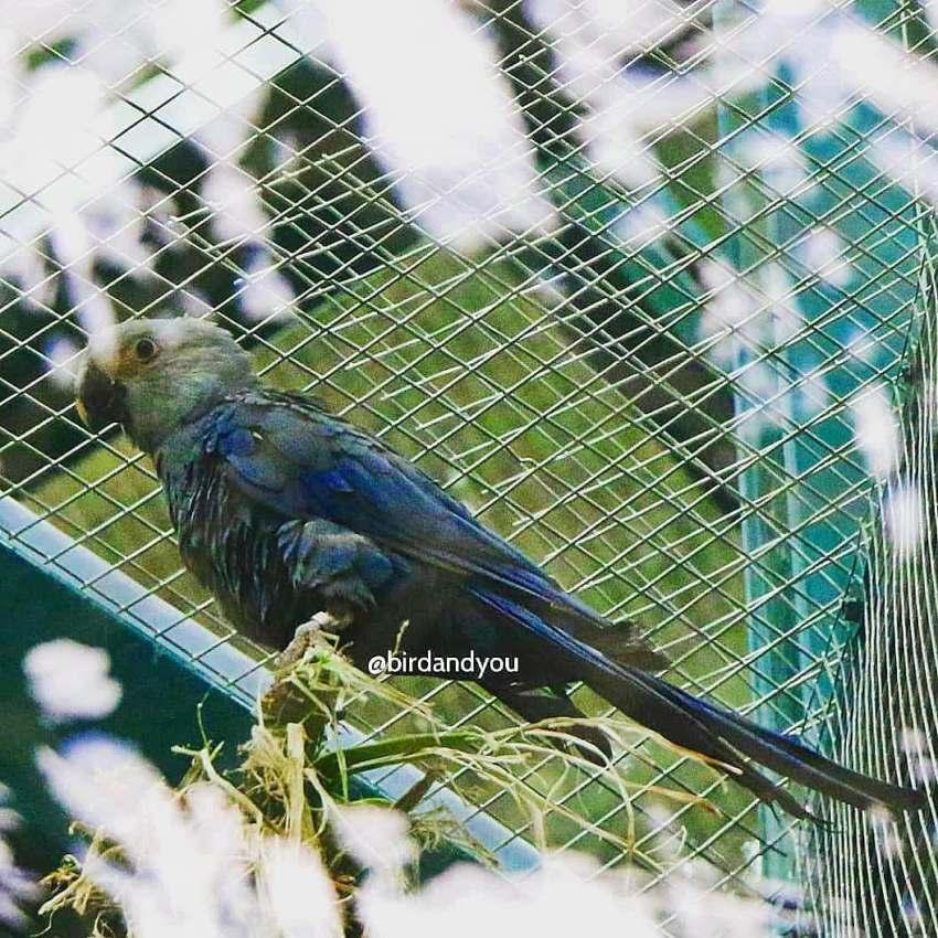 Ara de Spix-Birdandyou