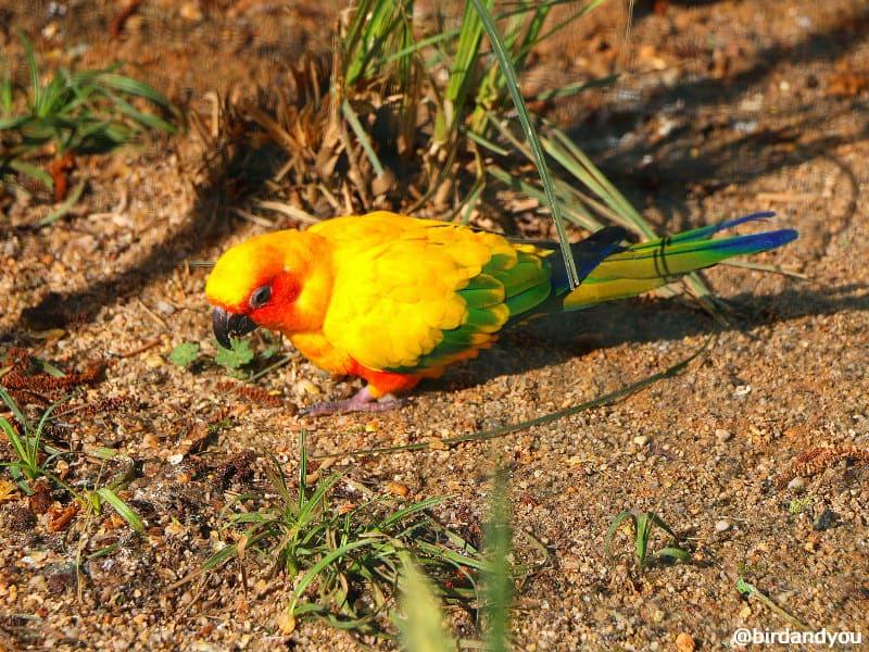 Conure soleil Zoo de beauva