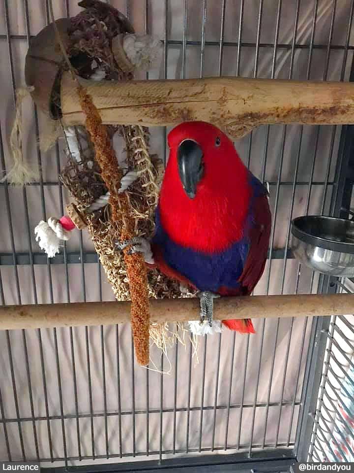 Perroquet éclectus femelle