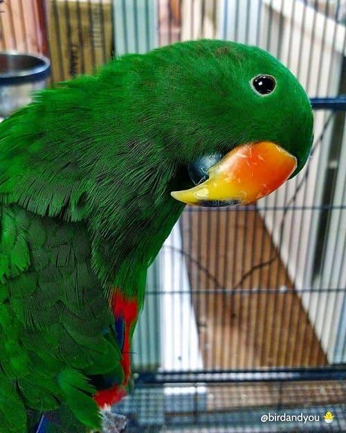 Perroquet éclectus male