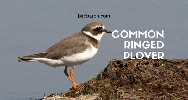 Common Ringed Plover – An Introduction
