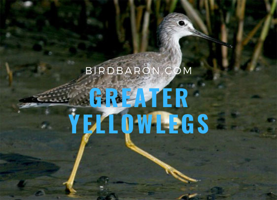 Greater Yellowlegs – Birds with Yellow Legs and Feet