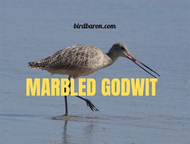 Marbled Godwit – Where do Godwits Nest?