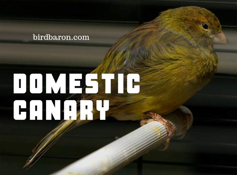 Domestic Canary – Are Canary good Pets?