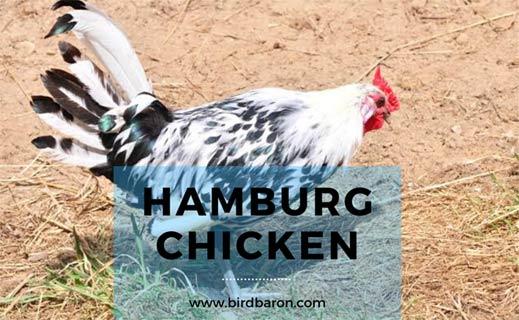 Hamburg Chicken Breed – Golden | Blue | Eggs | For Sale