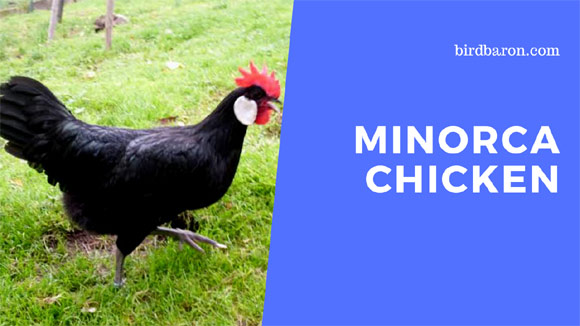 Minorca Chicken Breed | Recognized Variety | Buff | Black | For Sale