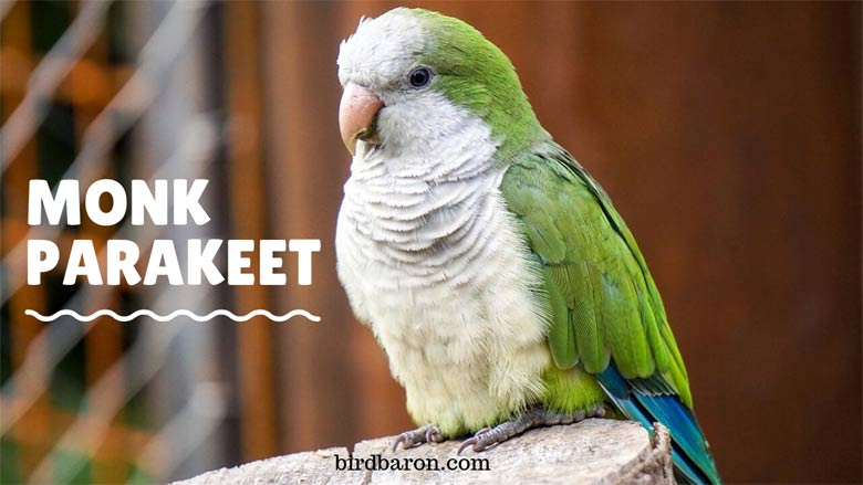 Monk Parakeet – Nest | Size | Lifespan | Facts