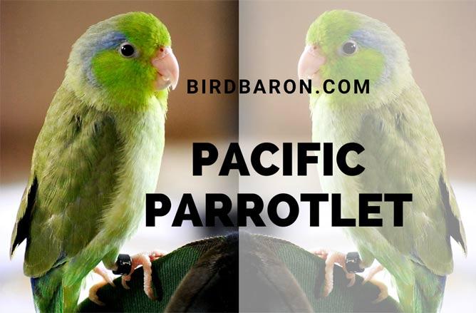 Pacific Parrotlet (Forpus coelestis) – Lesson's or Celestial Parrotlet