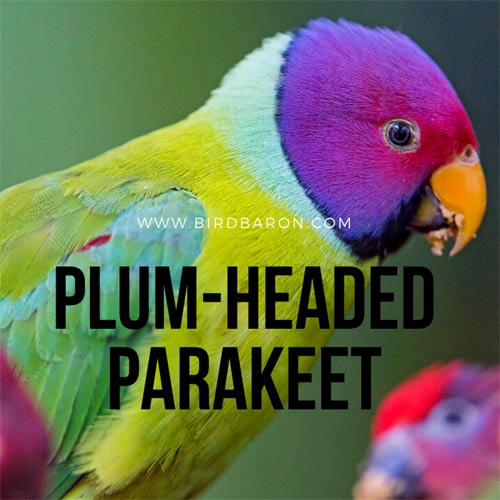Plum Headed Parakeet – Psittacula cyanocephala Facts