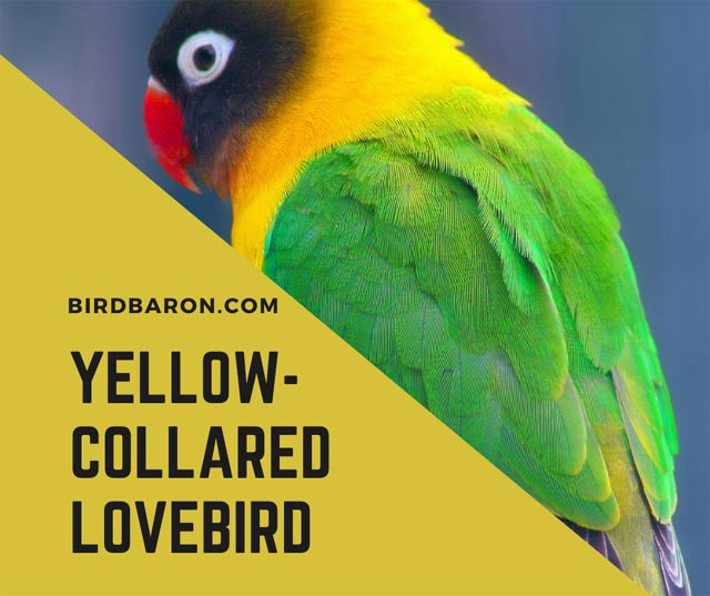 Yellow collared Lovebird (Agapornis personatus) Facts