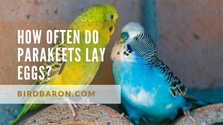 How often do Parakeets Lay Eggs?