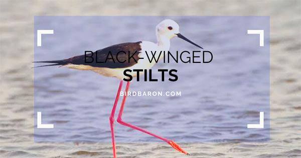 Black Winged Stilt – Profile | Facts | Traits | Behavior | Diet