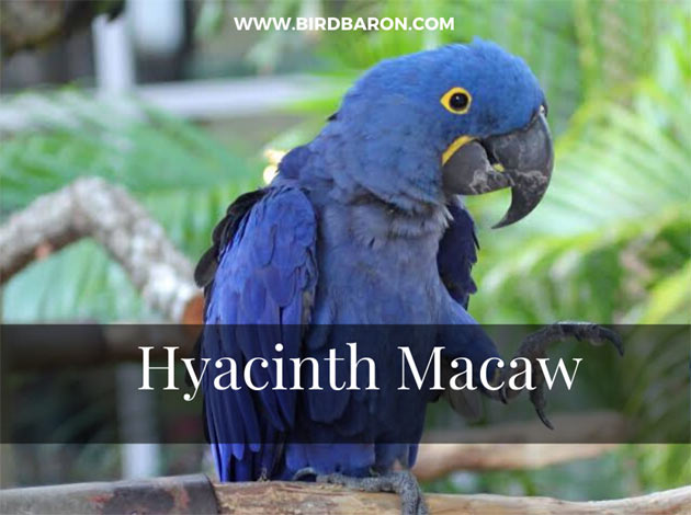 Hyacinth Macaw Facts and Description