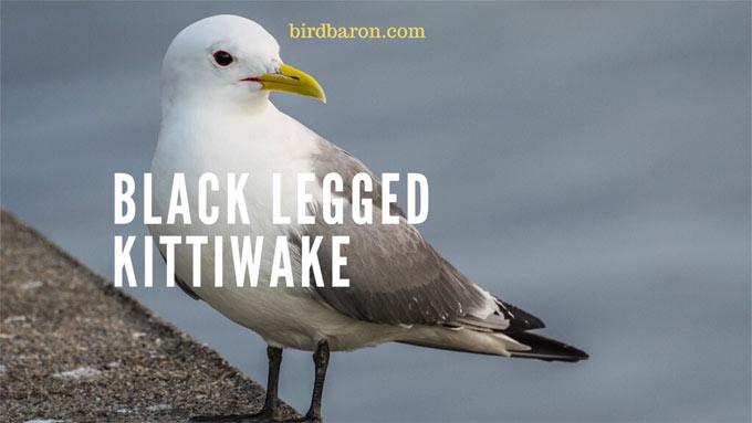 Black Legged Kittiwake – Facts| Juvenile | Range| Flight