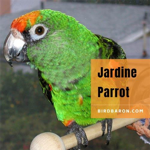 Jardine Parrot Description, habitat, Diet and Pet
