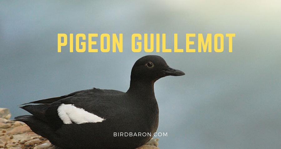 Pigeon Guillemot – Facts | Juvenile | Migration | Range