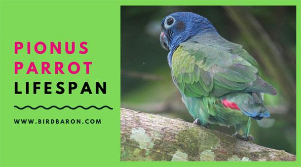 Pionus Parrot Lifespan – How Long a Pionus Parrot Live?