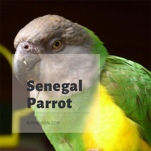 Senegal Parrot – Facts | Habitat | Behavior | Feeding | Sound