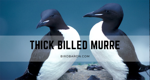 Thick Billed Murre – Facts | Adaptation | Egg | Dive | Habitat