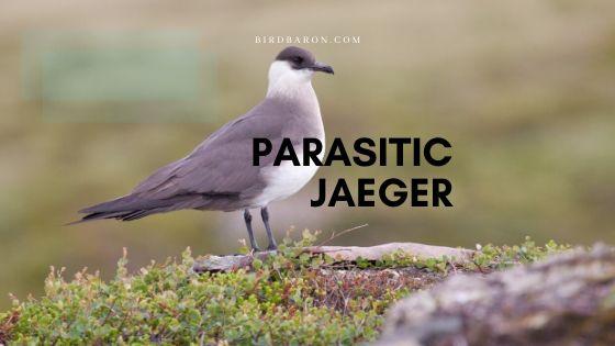 Parasitic Jaeger (Stercorarius parasiticus) Profile