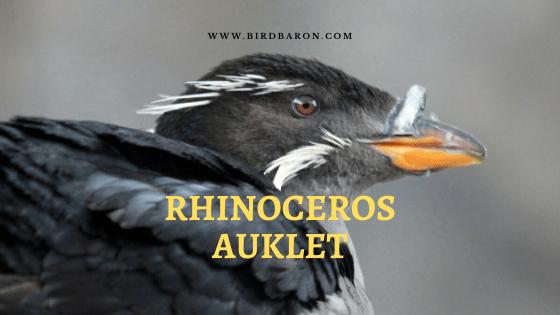 Rhinoceros Auklet (Cerorhinca monocerata) Facts