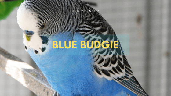 Blue Budgie Bird – Profile | Facts | Color | Information