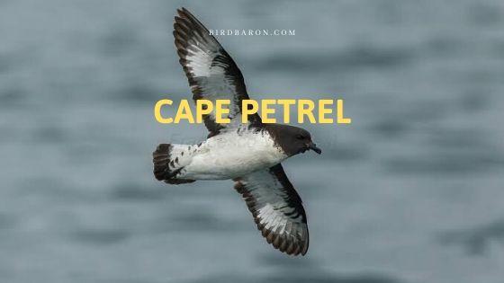 Cape Petrel (Daption capense) Bird Profile