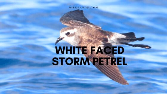 White Faced Storm Petrel (Pelagodroma marina) Profile