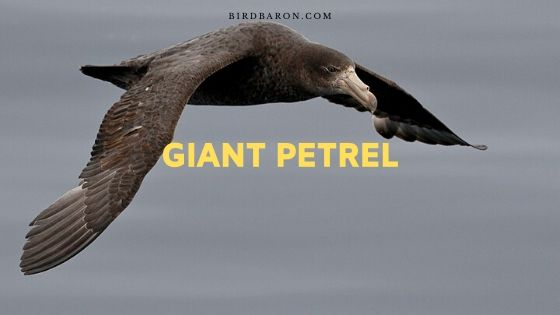 Giant Petrel Bird – Profile | Traits | Facts | Description