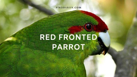 Red Fronted Parrot (Poicephalus gulielmi) Profile