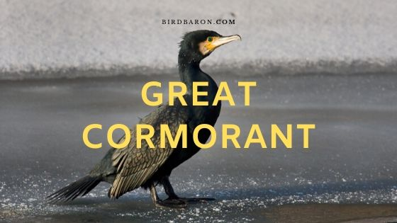 Great Cormorant Bird – Profile | Description | Facts