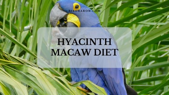 Hyacinth Macaw – Nutrition | Diet | Food | Eating Behavior