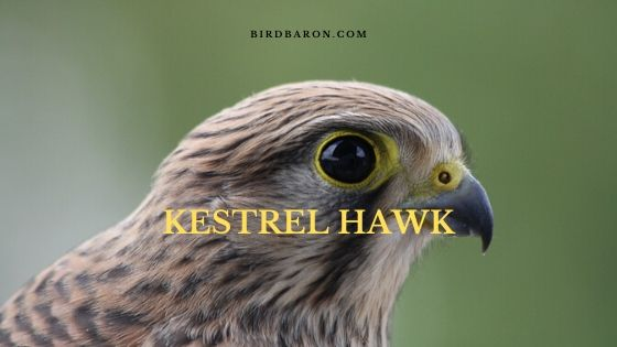 Kestrel Hawk (Falco sparverius) Bird Profile