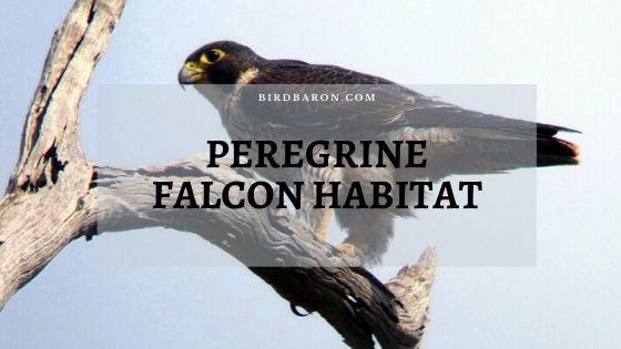Peregrine Falcon Range, Habitat and Migration