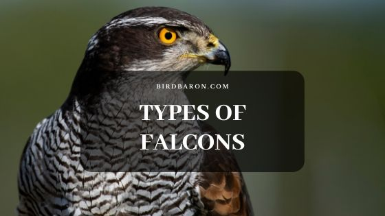 Types of Falcons with their Scientific Names