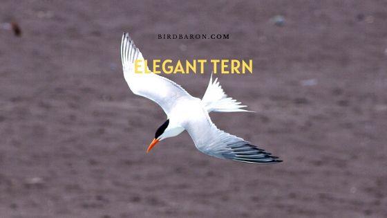Elegant Tern (Thalasseus elegans) Description