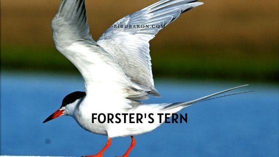 Forster's Tern (Sterna forsteri) – Profile | Description