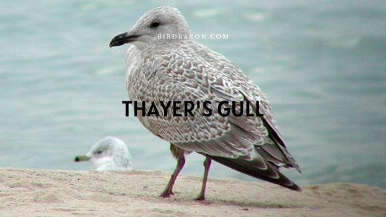 Thayer's Gull (Larus glaucoides thayeri) Facts