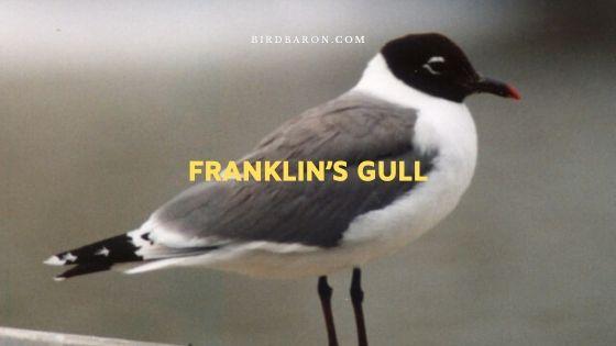 Franklin's Gull – Profile | Description | Traits | Facts