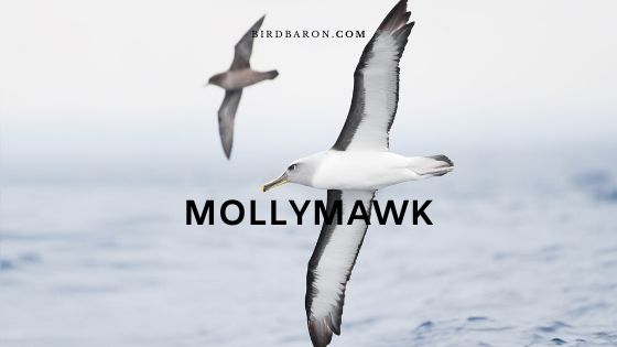 Is the Molly Mawk and Albatross Same?