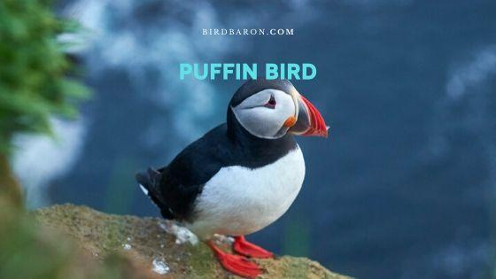 Puffin Bird – Profile | Description | Facts | Traits | Diet