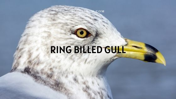 Ring-billed Gull – Profile | Traits | Description | Facts
