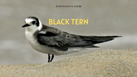 Black Tern Bird – Eggs   Range   Distribution